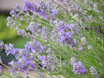 macro photography of lavender plants