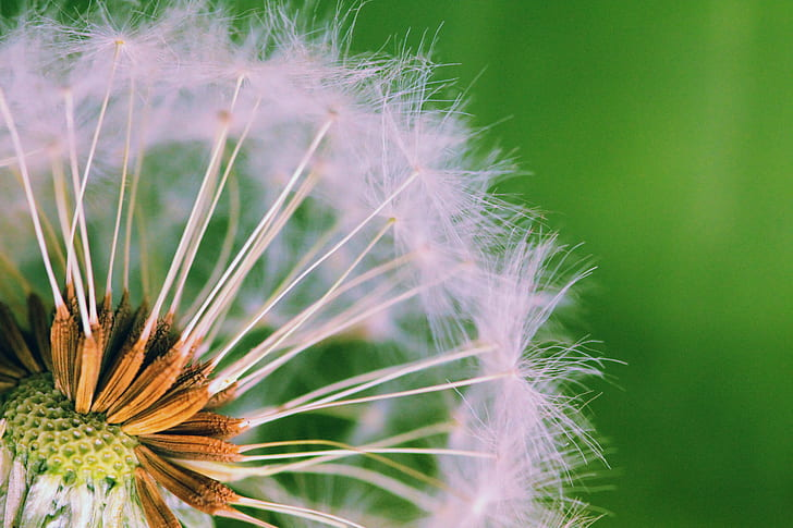 Royalty free photo white dandelion flower macro photography pickpik white dandelion flower macro photography mightylinksfo