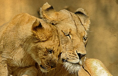two brown lioness