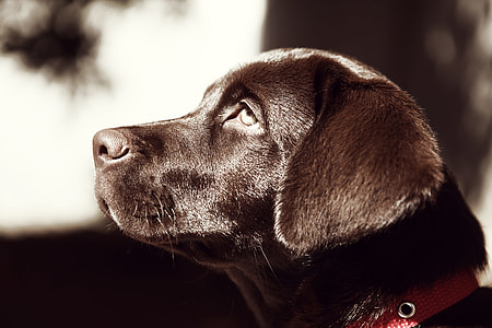 closeup photography of chocolate Labrador Retriever puppy