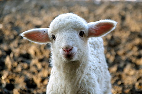 tilt shift lens photography of lamb