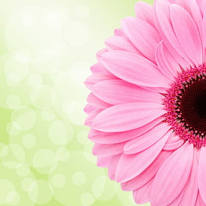 pink Gerbera daisy in bloom at daytime