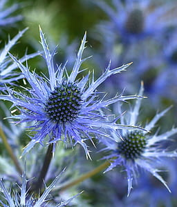 close-up photography of blue thistle flower
