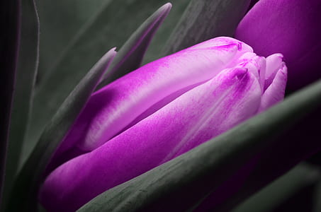 purple Tulips flower