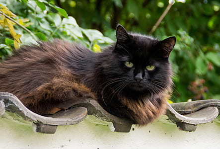 long-coated black and brown cat