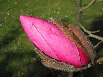 pink Magnolia flower bud at daytime