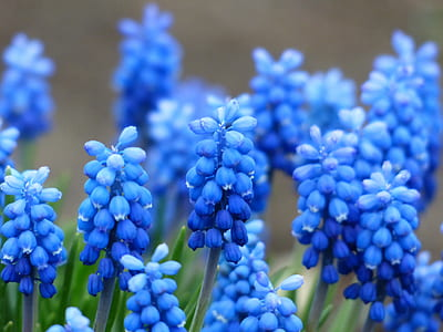 blue grape hyacinth flowers in bloom at daytime