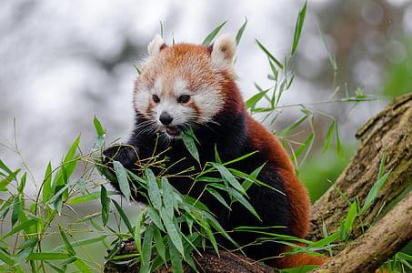 red panda eating a leaf