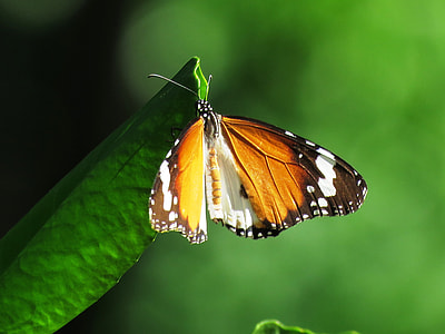brown, black, and white butterfly perched on green leaf at daytime