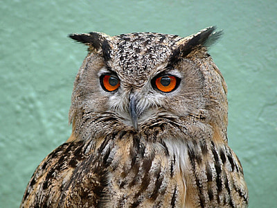 photography of red eyes owl