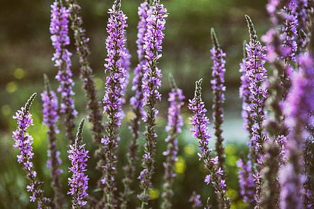 Close-up shot of a lavender coloured plant