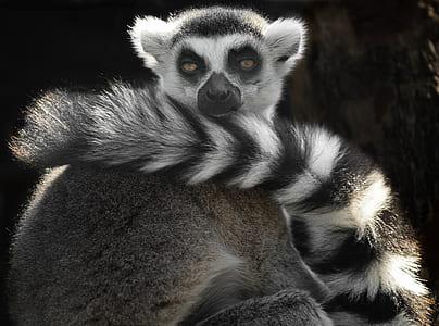 gray and black meerkat