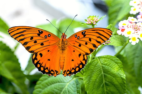 gulf fritillary butterfly perched on green leaf plant in closeup photography