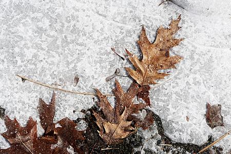brown maple leaves