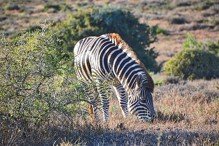 photo of black and white zebra on brown grass