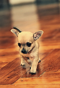 brown, puppy, wooden, flooring, photo, chihuahua