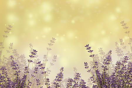 landscape photo of lavenders