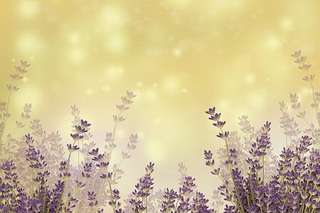 landscape photo of lavenders