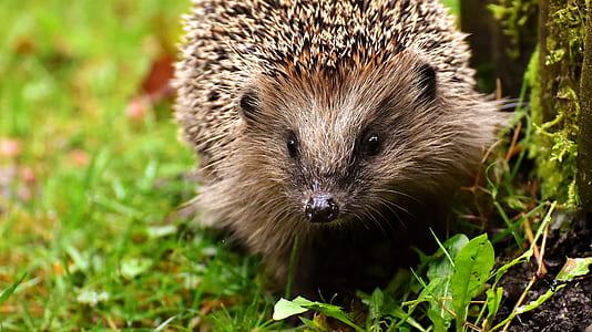 brown hedgehog on fress