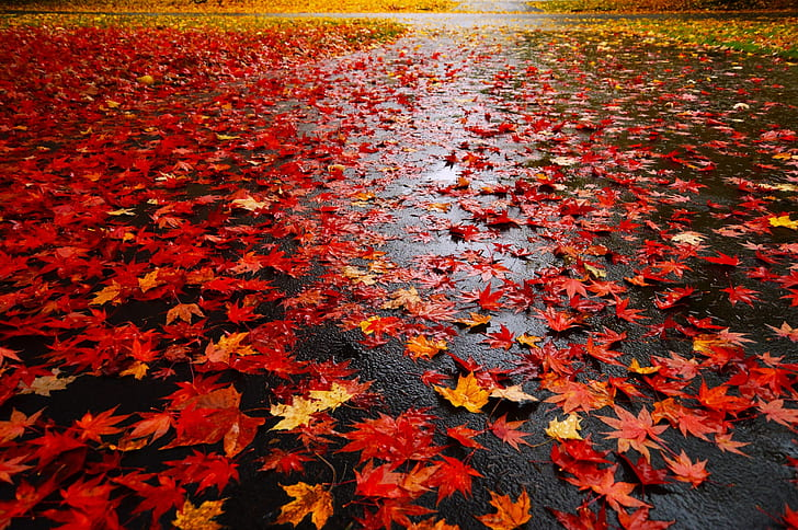 lots of red maple leaf on ground