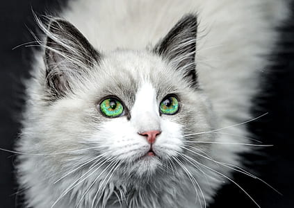 long-fur gray and white cat