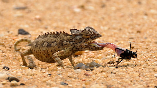chameleon on sand eating black crawling insect closeup photography
