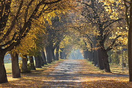 walkway between trees with leaves on the ground