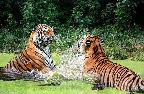 two tigers on body of water