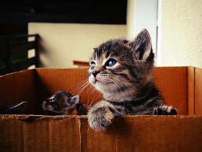 short-furred gray tabby kitten inside box