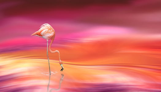 flamingo drinking water digital wallpapper