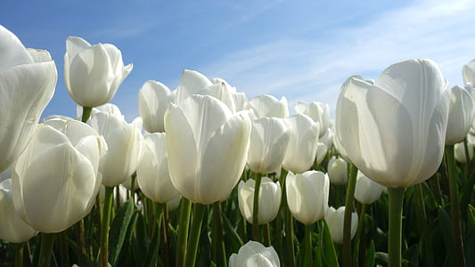 white tulips field