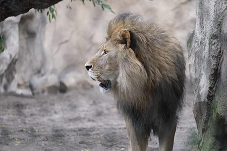 beige lion near gray wall