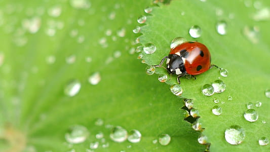 ladybug on green leaf with dew drops in macro photography