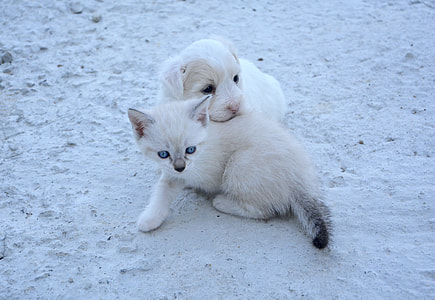 short-coated white puppy and white kitten sits on sand during daytime