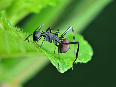 leaf ant perched on green leaf macro photography