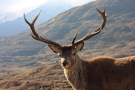 adult male stag during daytime
