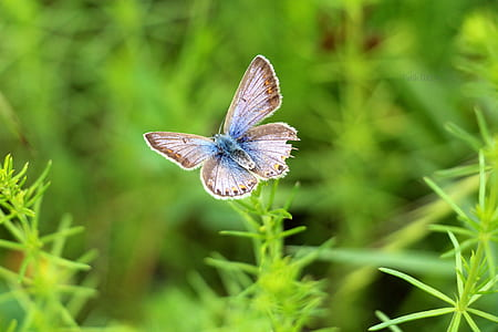 female common blue butterfly on green leaf plant