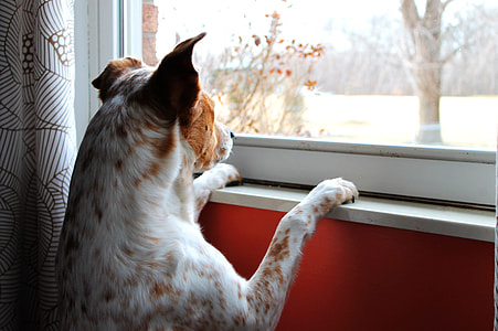shallow focus photography of brown and white dog standing in front window during daytime
