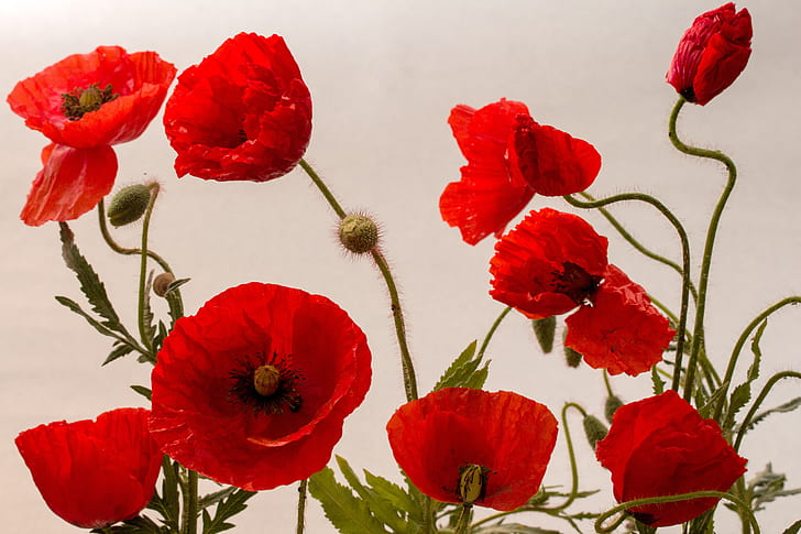 red poppies in bloom close up photo