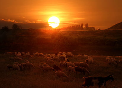 herd of sheep during golden hour