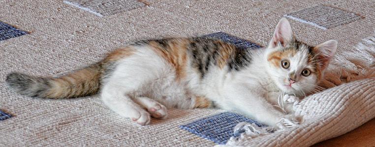 photograph of Calico cat playing fringe rug