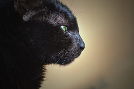 close-up photo of short-furred black cat