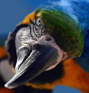 blue and red scarlet macaw