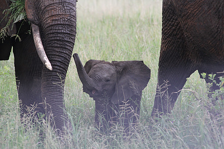 baby elephant in the middle of two adult elephants