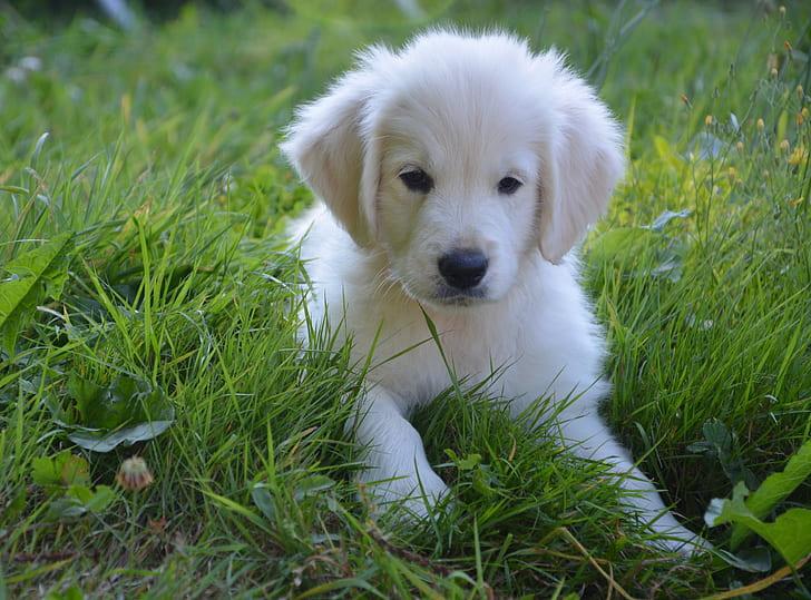 golden retriever puppy in green grass during daytime