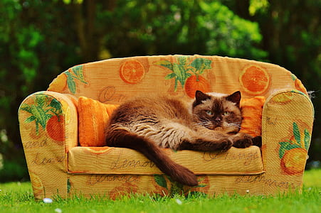 brown and beige cat on brown orange printed sofa on green grass field