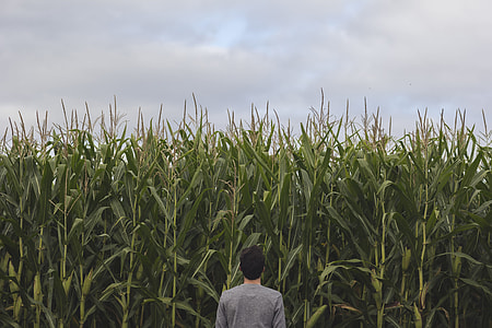 person standing and facing at corn field