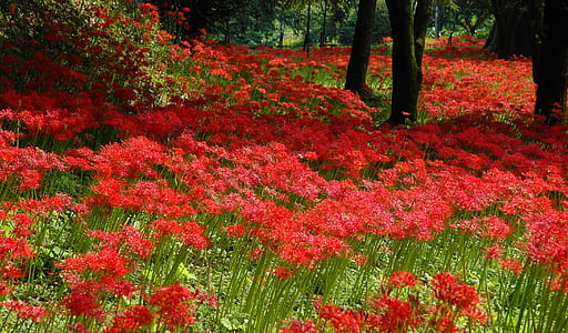 shallow focus photography of red flower field