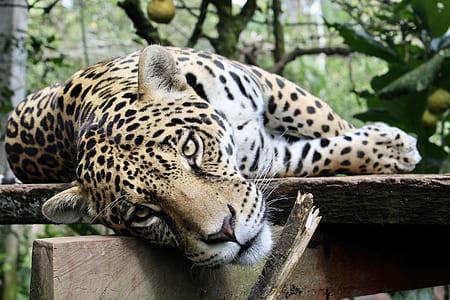 leopard lying on wood log