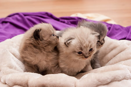 three short-fur beige kittens